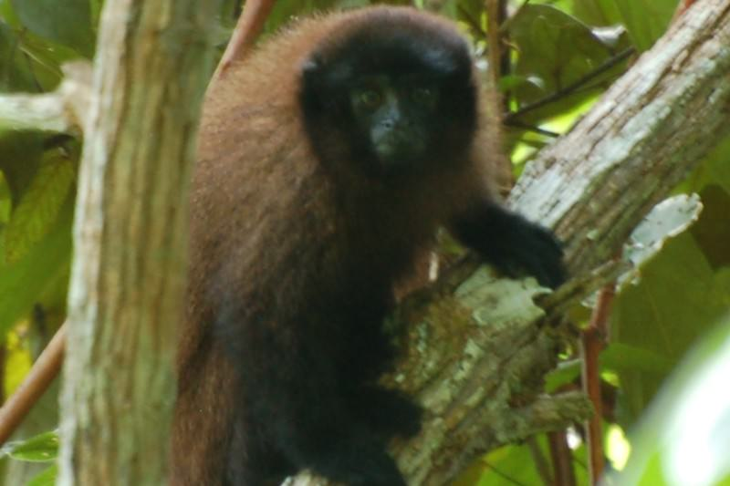 New species of titi monkey discovered in remote Peruvian forest