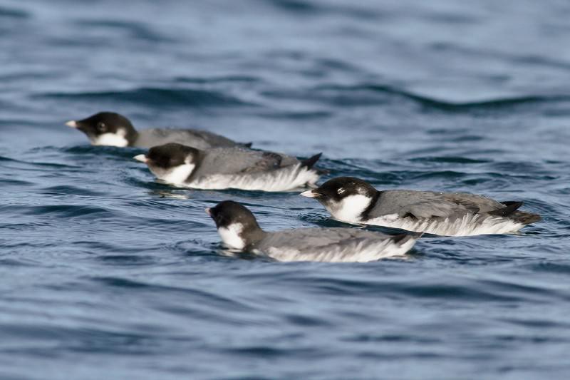 Bird flies 16,000-kilometre Pacific circuit for no clear reason
