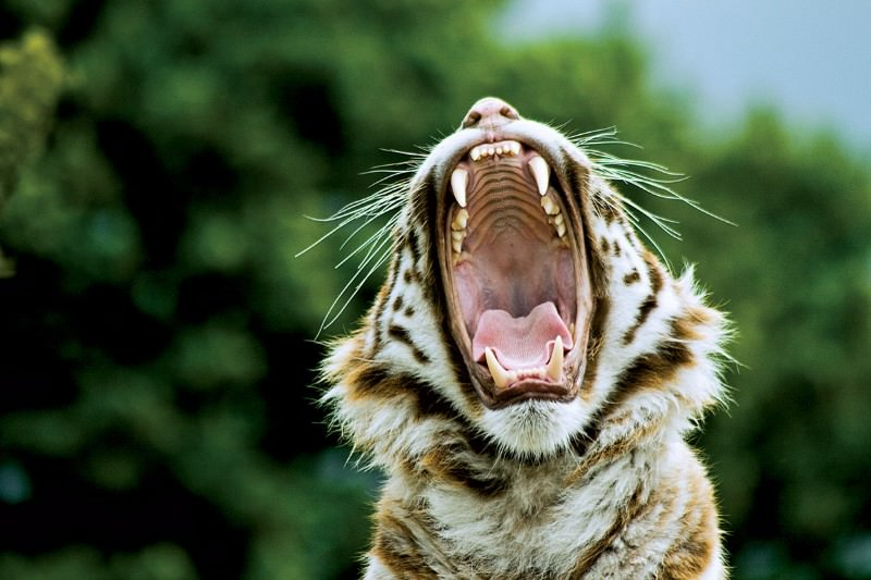 Track individual tigers just by listening to them roar