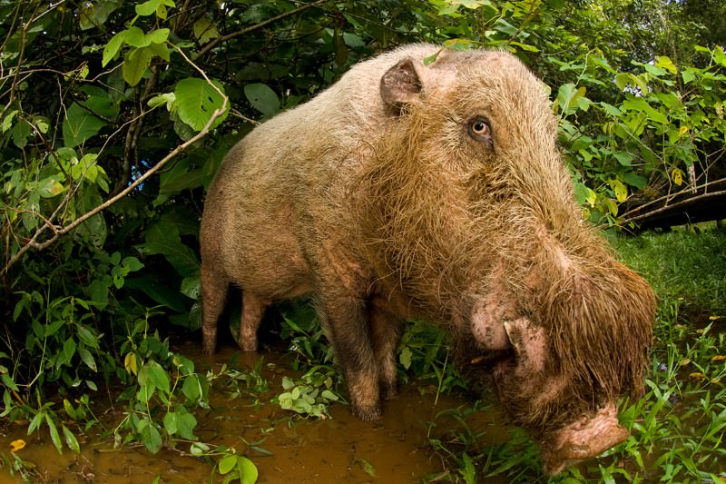 See eye to eye with the pig that had a beard before it was cool