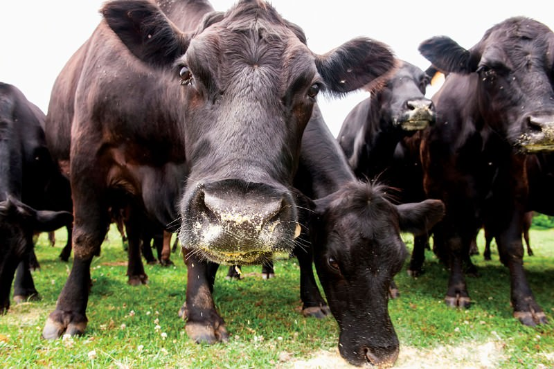 Hornless cattle will herald a gene-editing revolution on farms