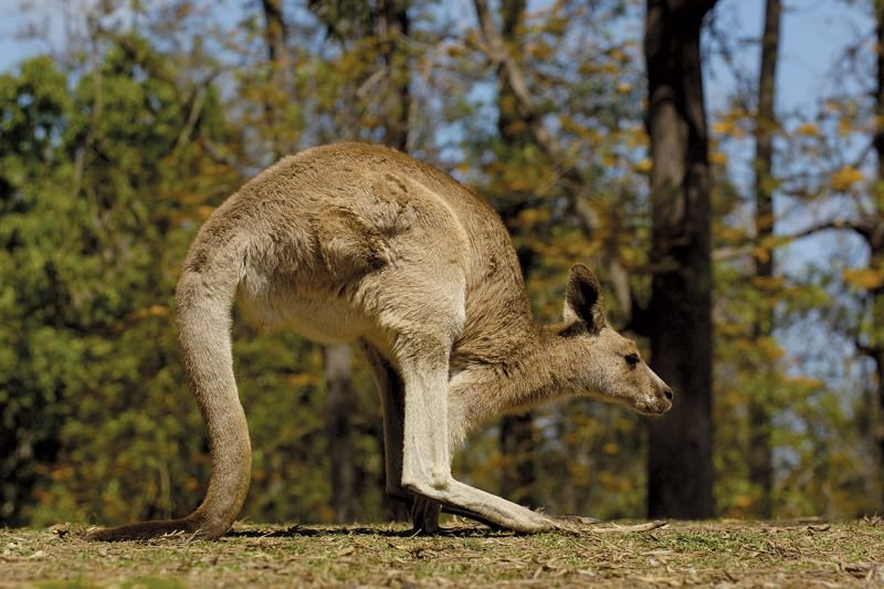Mystery of Australia's five-legged animals cracked