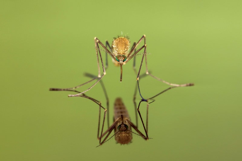 Dainty step gives mosquito legs super strength to walk on water