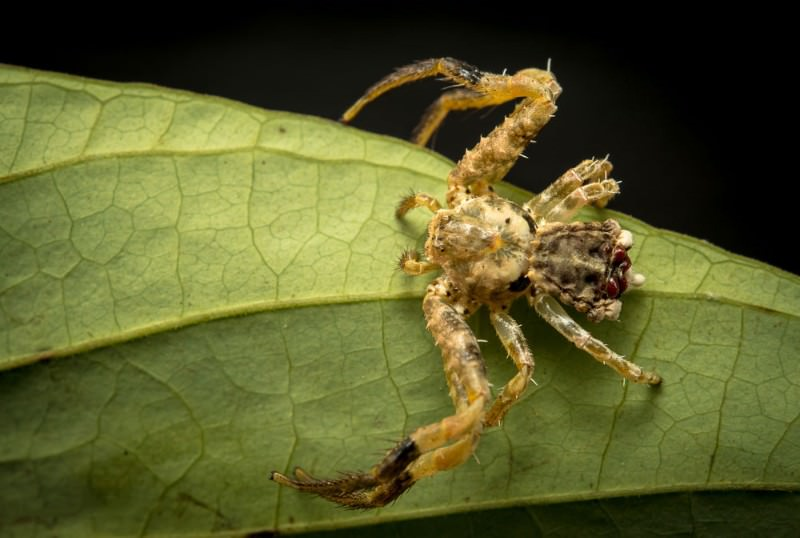 Zoologger: A spider that looks and smells like bird droppings