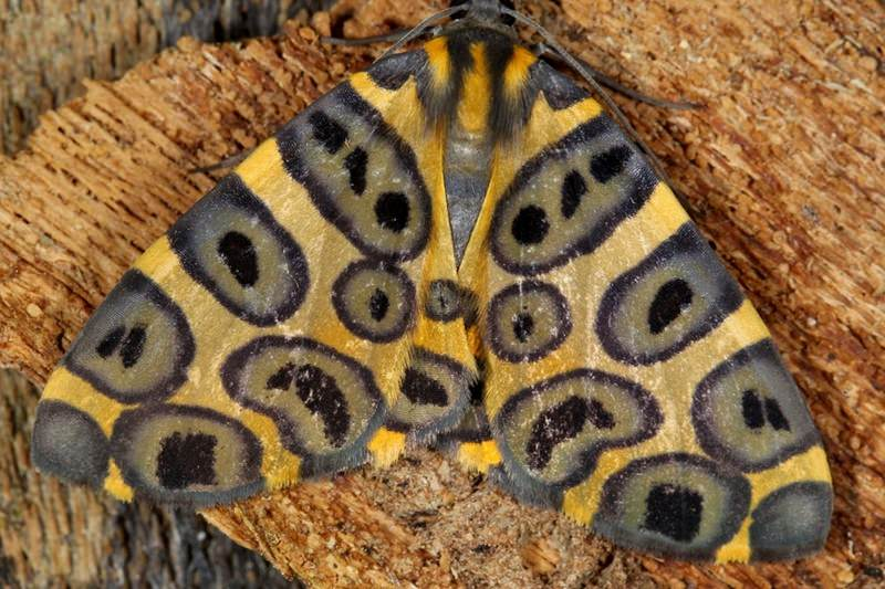 Myriad moths reveal odd shapes and hypnotising patterns