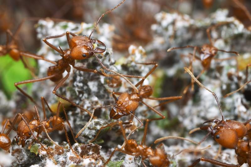 Crops farmed by leafcutter ants show signs of domestication