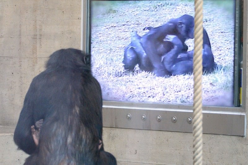 Apes remember major events in movies, even on a single viewing