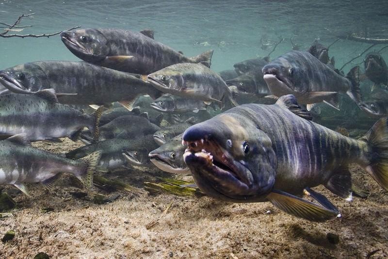 Plus anciens os de saumon allusion comment Pierre migration Age a été alimentée