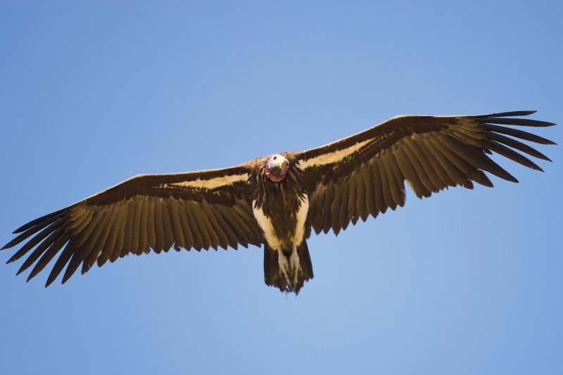 Vultures are new target for African bushmeat and medicine trade