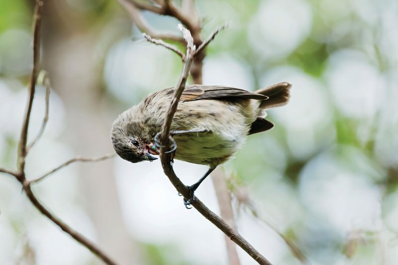 Darwin's fast-evolving finches use a natural insect repellent