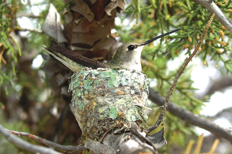 Hawk's invisible force shield protects hummingbird from jays