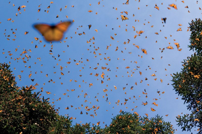 If viruses transfer wasp genes into butterflies, are they GM?