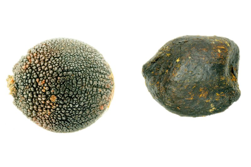 Plant tricks dung beetles by making its seeds look like dung