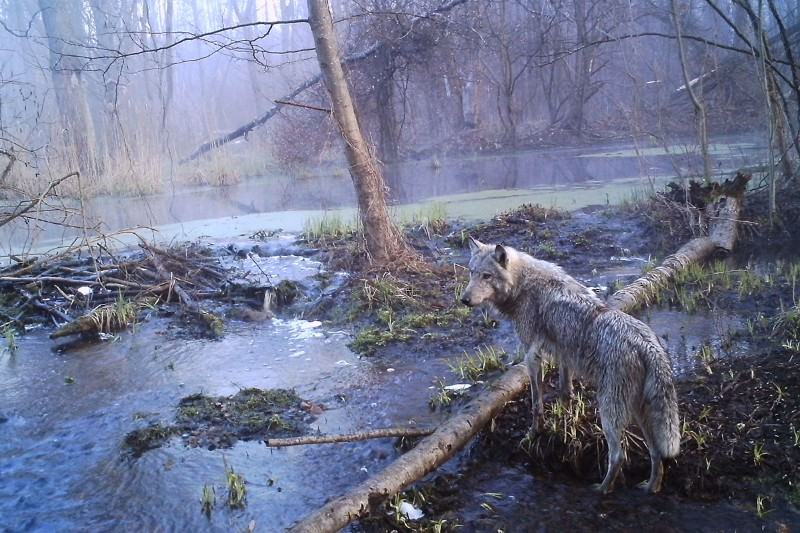 Wildlife is thriving around Chernobyl since the people left