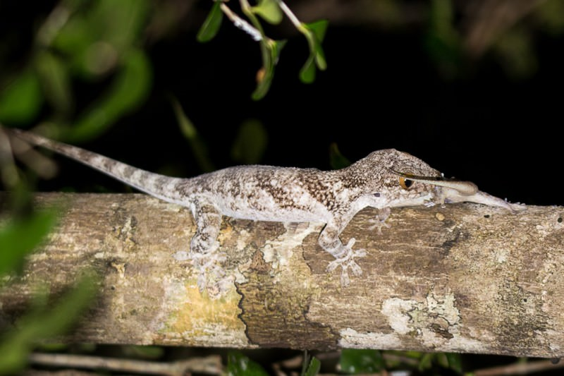 Lizard literally jumps out of its skin to escape predator's jaws