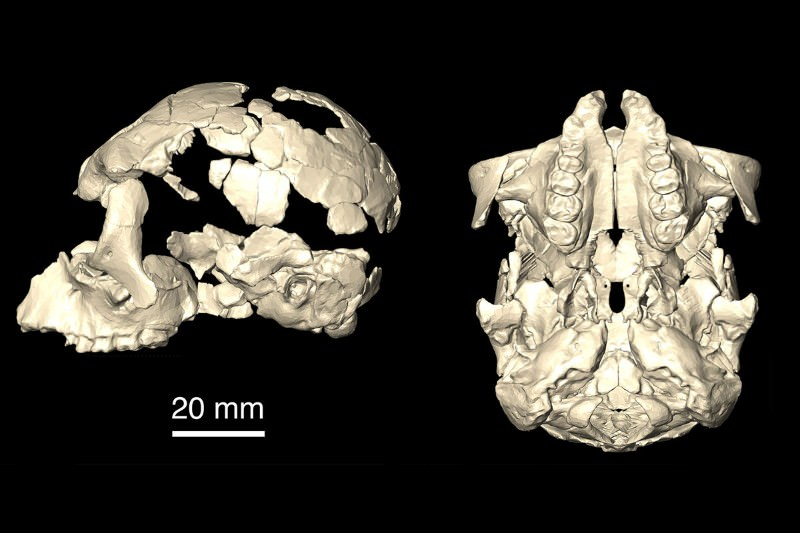 Fossil discovery could be the last common ancestor to all apes