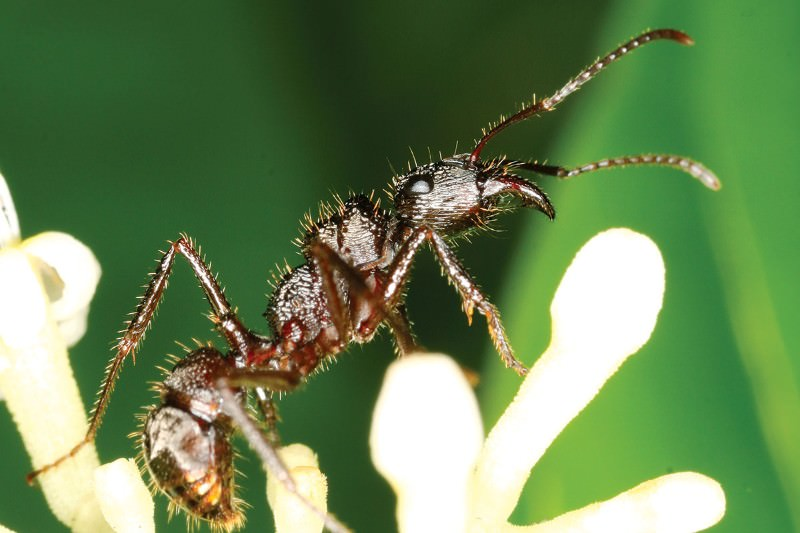 Zoologger: The robber ants living in a gang of their own
