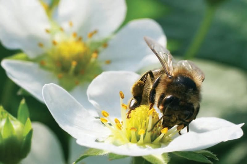 bumblebees deployed to spray crops with pesticides bee vectoring technology headquarters bee vectoring technology stock price