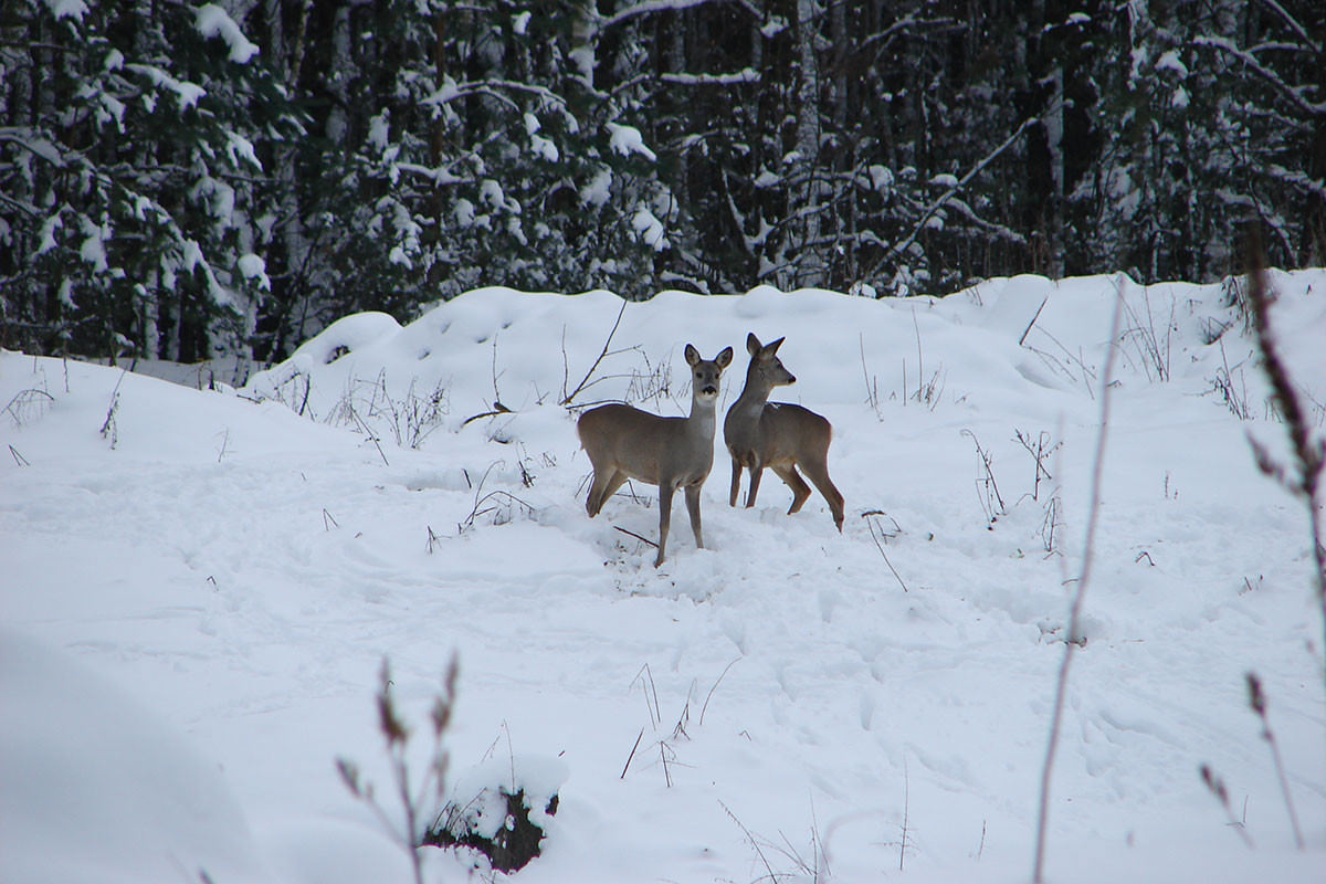 Roe-Deer-Tatyana-Deryabina
