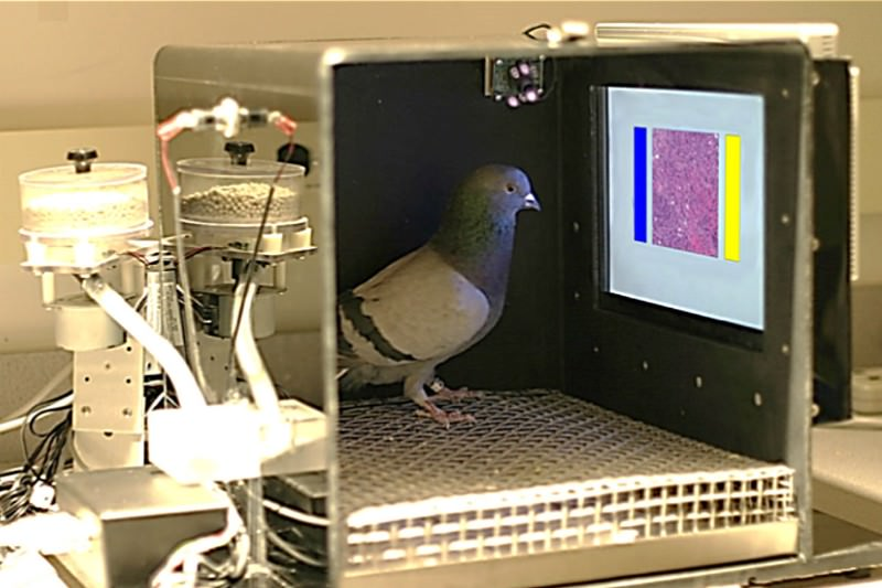 Pigeons taught to diagnose breast cancer on X-rays