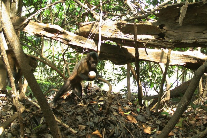 Capuchin monkeys use sticks as shovels to dig out caiman eggs
