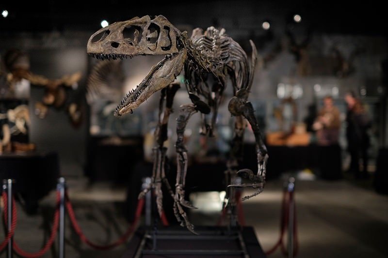 Beautiful Allosaurus skeleton auctioned with £500,000 price tag
