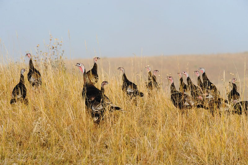 How wily wild turkeys struck it lucky in America