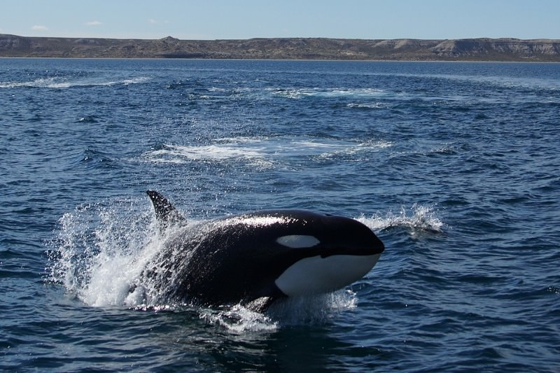 Orcas seen in unique group ambush-and-kill attack on dolphins