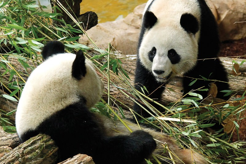 Pandas don't lack sex drive, they just need to fancy each other