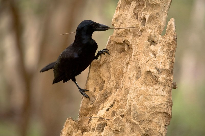 Crow cameras give us a bird's eye view of tool-making in the wild
