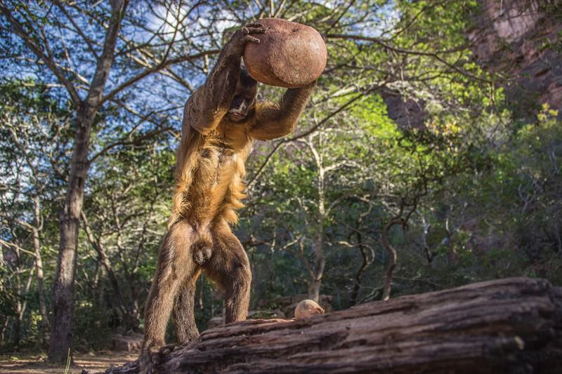 Nut-cracking capuchin and tadpoles among photo competition picks