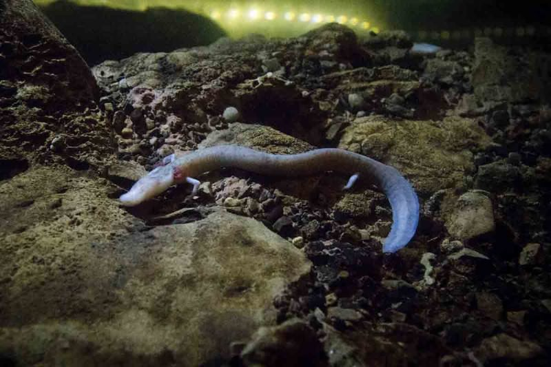 Meet the weird amphibian that rules the underworld