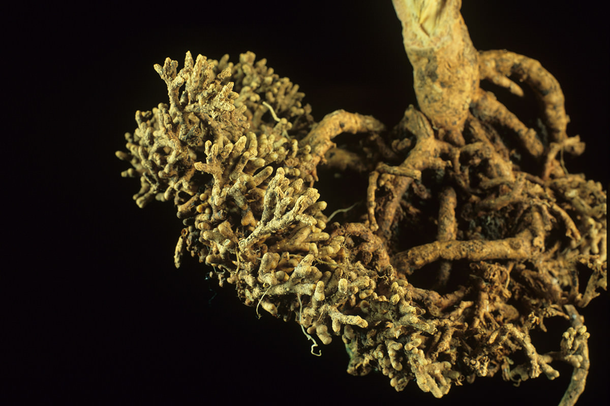 Roots of the cycad tree, harbouring cyanobacteria