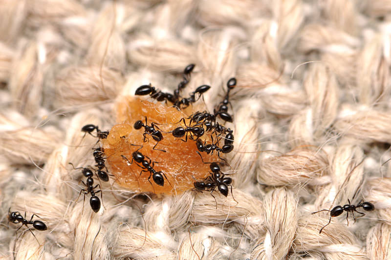 Little black ants eating a dropped morsel of food