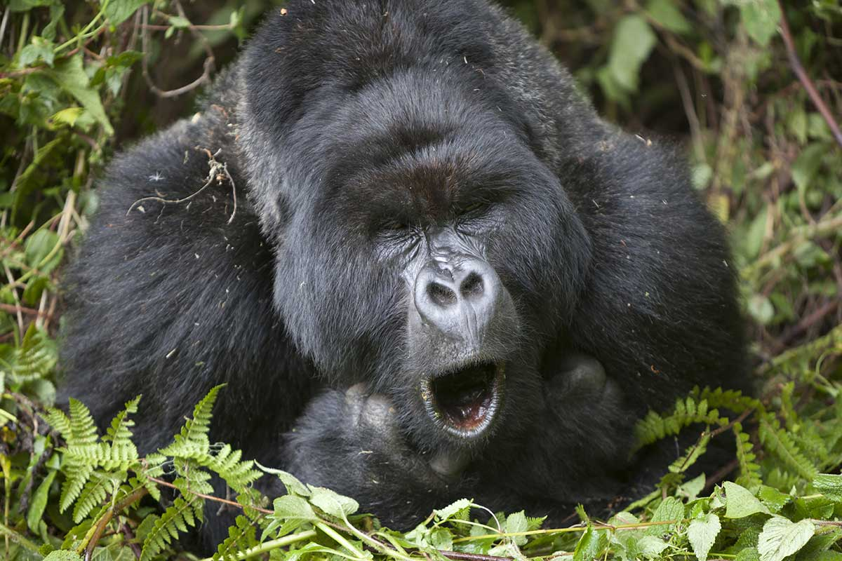 Gorilla Singing