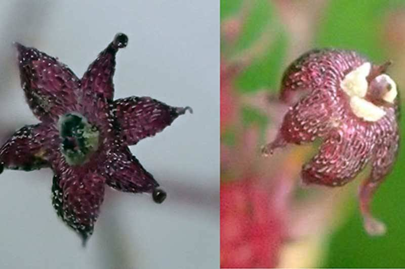 The flowers of Sciaphila yakushimensis (left) and Sciaphila japonica poke above the ground