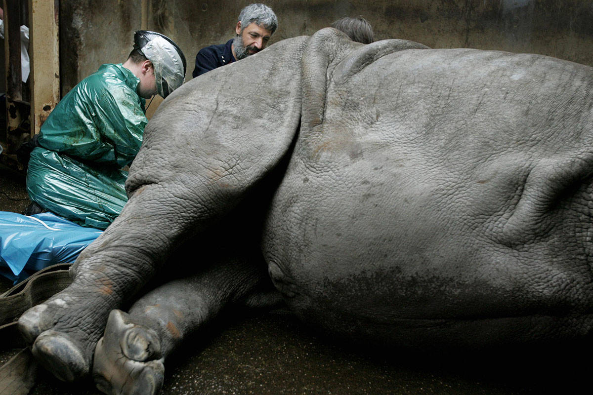 Vet attempts to artificially inseminate a white rhinoceros