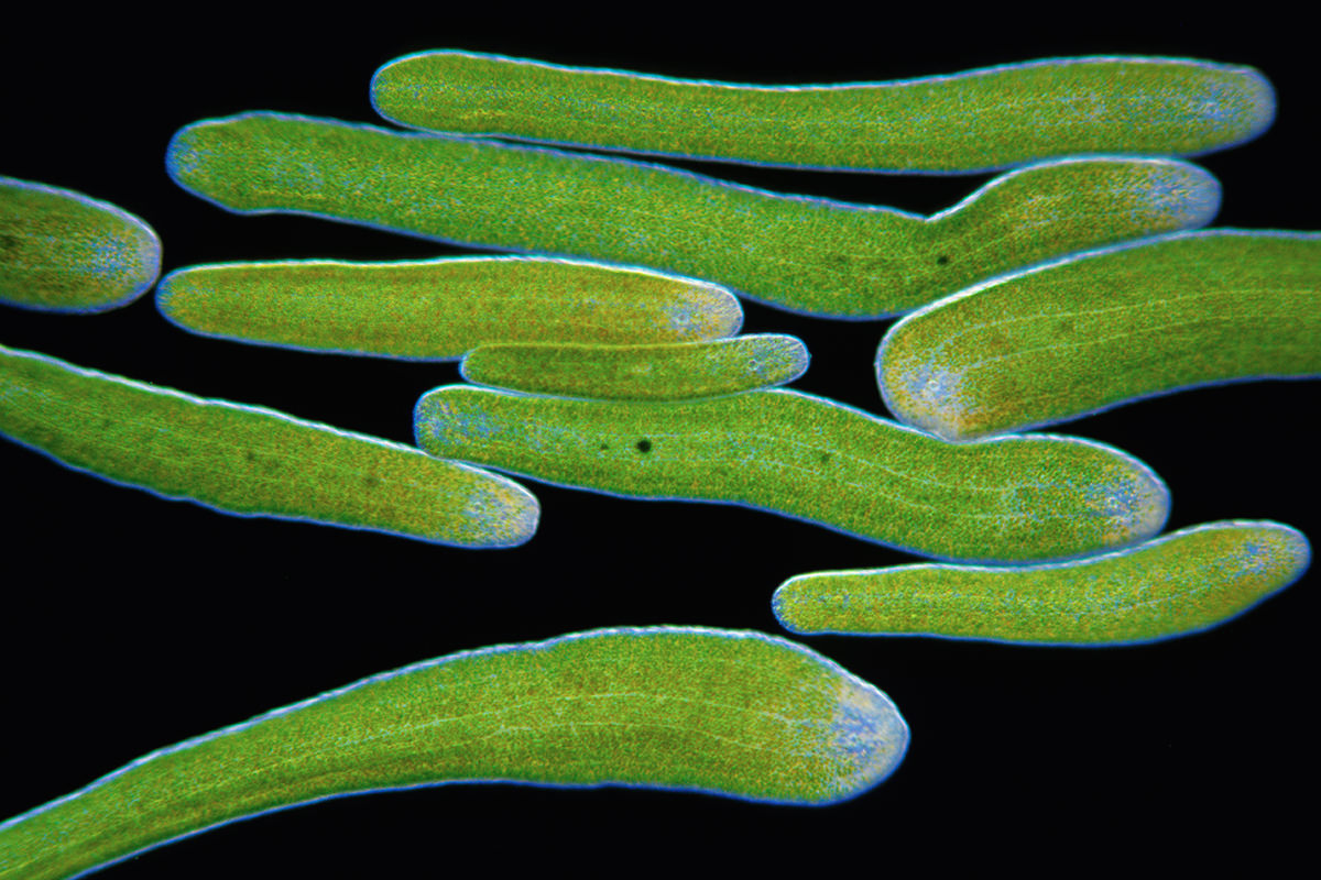 Green Worms Create A Superorganism That Becomes A Giant