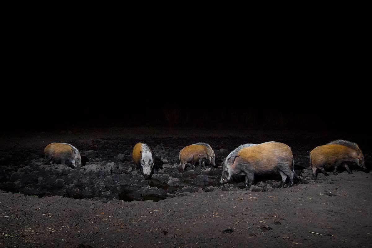 cameratrap-bush-pigs