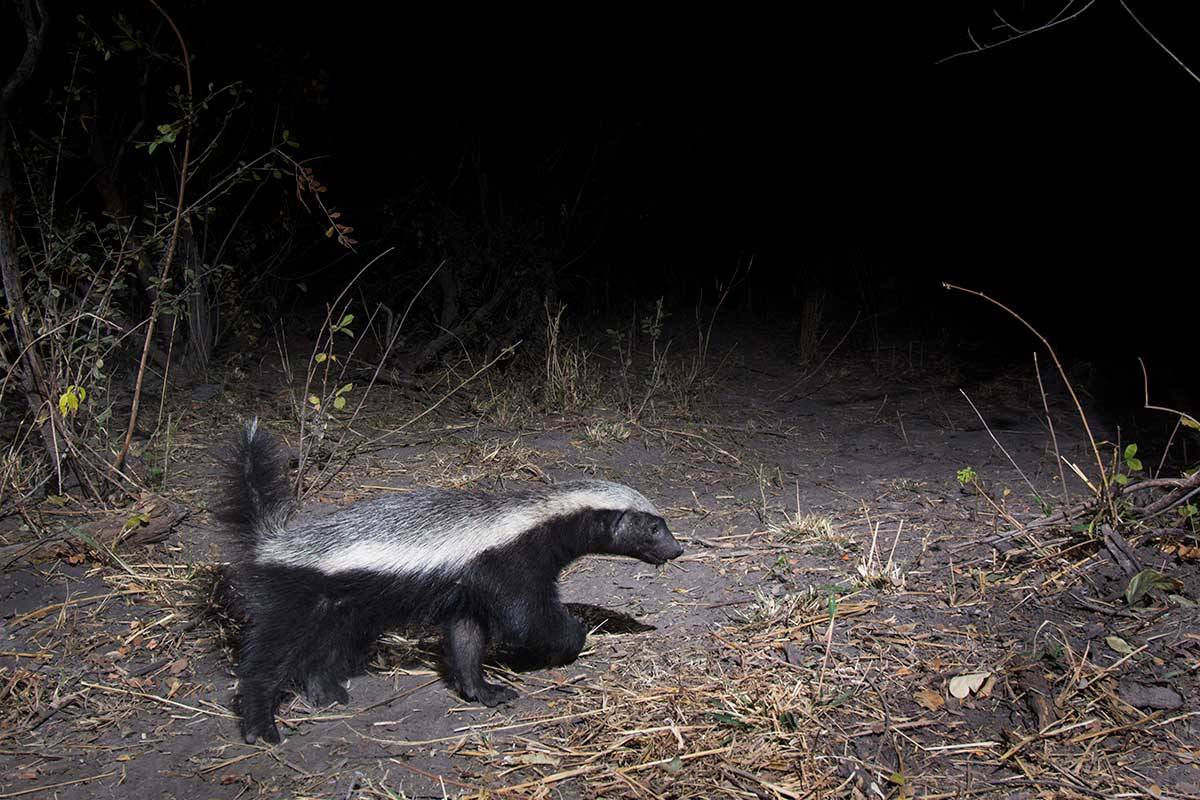Namibia honey badger