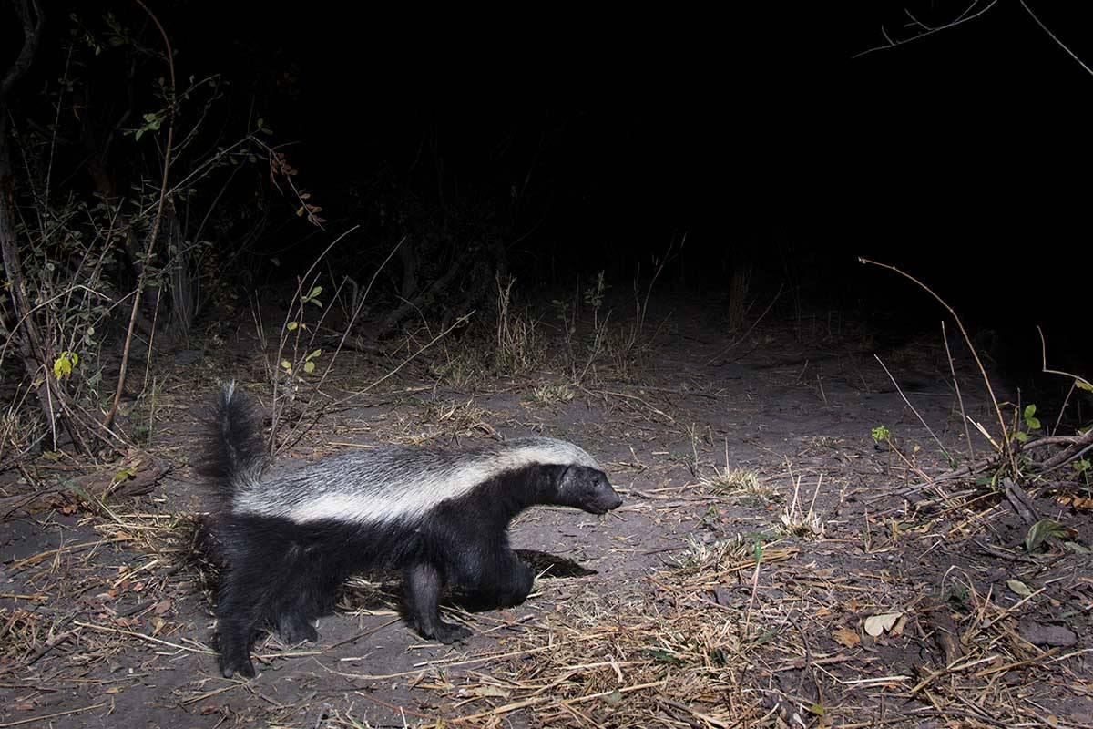 Namibia honey badger
