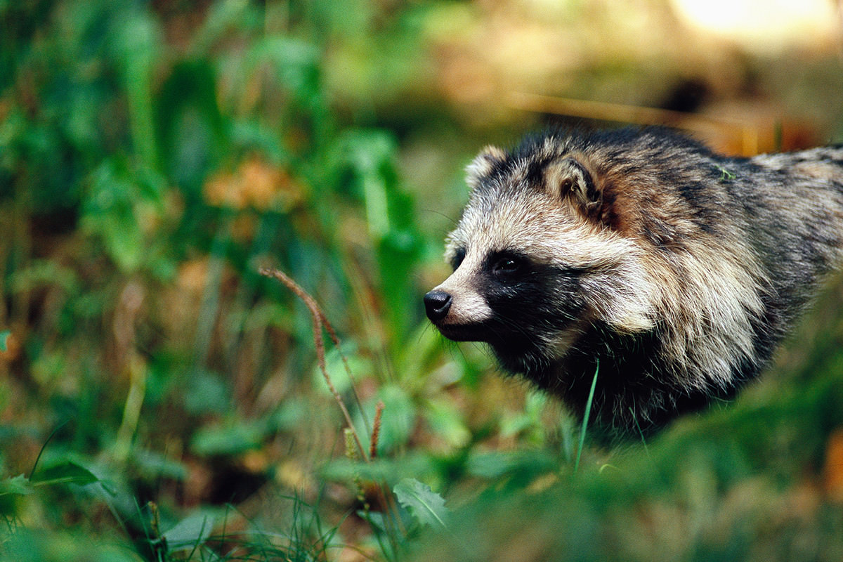 raccoon dog in Sweden