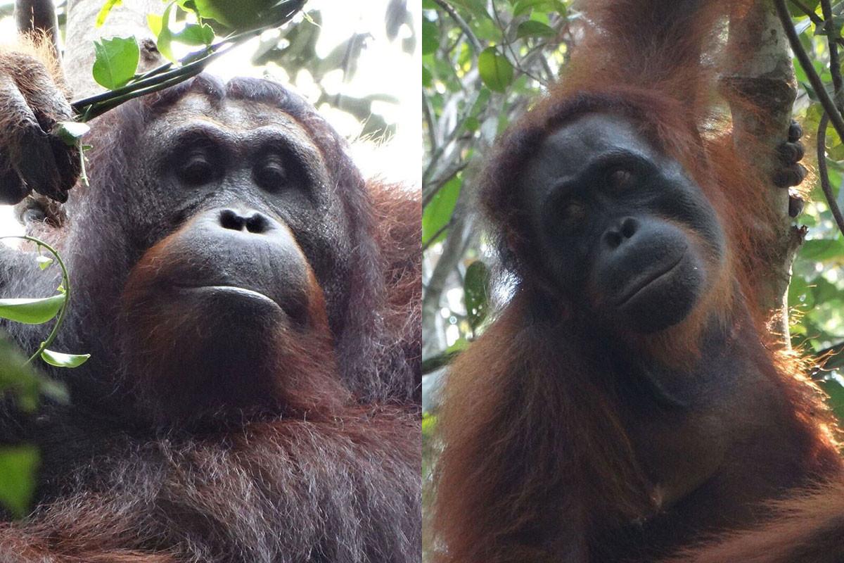 Two orangutans