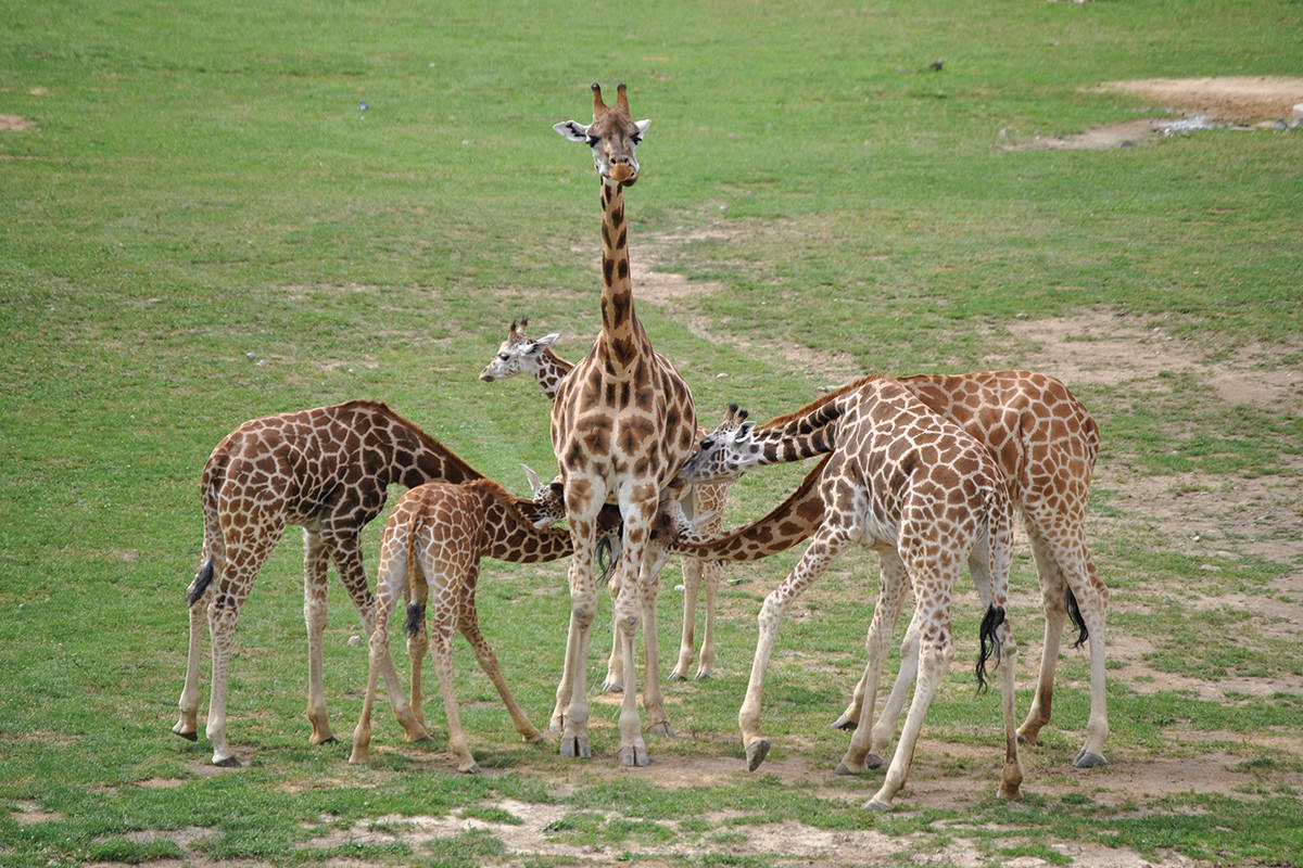 A patient-looking giraffe mother allowing five young giraffes of varying sizes to suckle