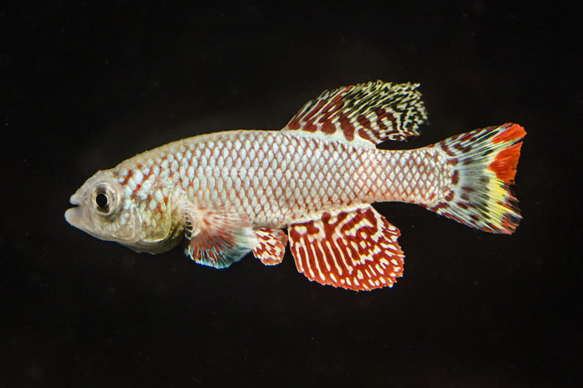African turquoise killifish
