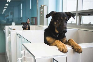 Two dogs with their heads looking out of the tops of a row of cubicles. They are both clones of the same black-and-tan German Shepherd dog, and their only difference is that the left ear of one of them points upwards