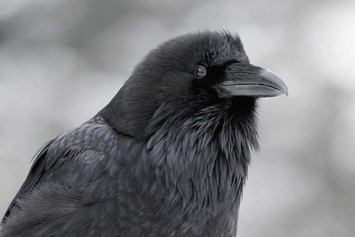 Ravens Might Know Exactly What We'Re Thinking