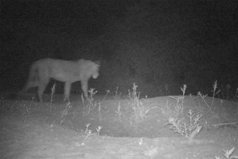 A lion photographed by a camera trap in Alatash National Park in Ethiopia