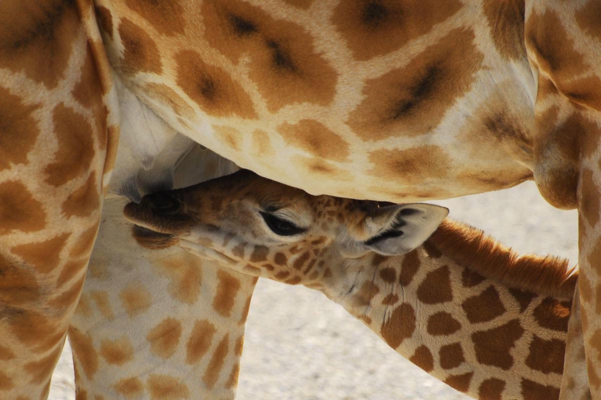 pics of baby giraffes wwwpixsharkcom images