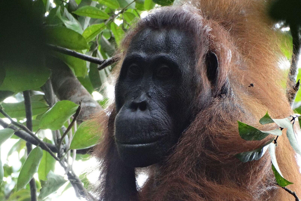 Sidony is the first recorded orangutan to be murdered